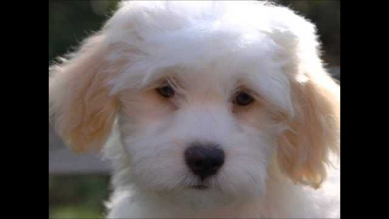 Породы собак Бишон хаванез