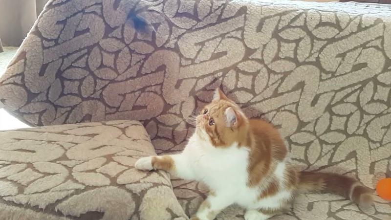 № 261 Афина Экзот Кэт кошка 7 мес для 2 й выставки кошек РФО он лайн на конкурс 18 1я часть