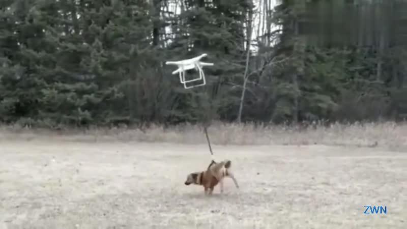 четырехосный дрон выгуливает собаку, собака исчезает.