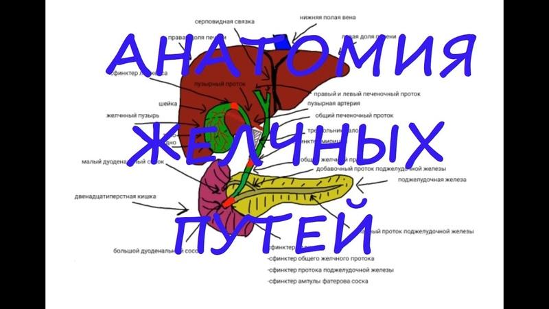 Анатомия желчных путей