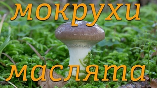 Сбор грибов: мокрухи, маслята, сосновый лес оздоровительный