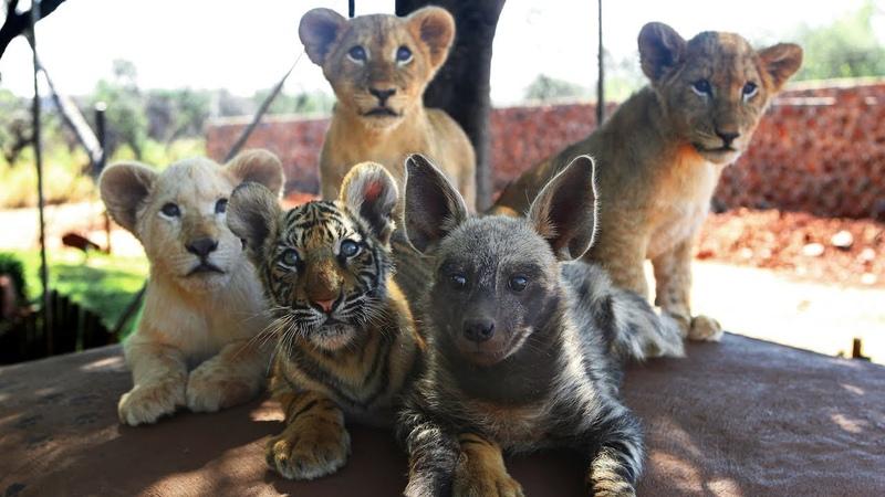 Baby Animals: Baby Lion Baby Tiger Baby Hyena Cub Animal Cuteness!