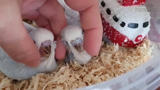 Птенец самец или самка? || Как отличить самца волнистого попугая от самки в птенцовом возрасте!