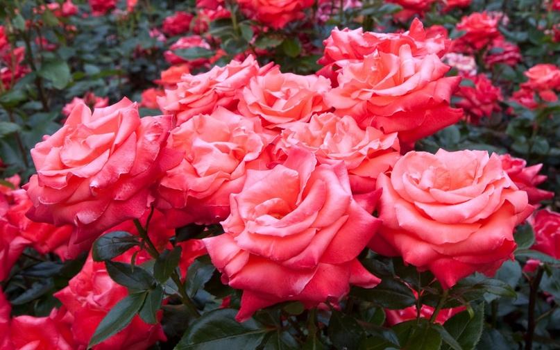 Розы полезны для Благодати, изображение №4