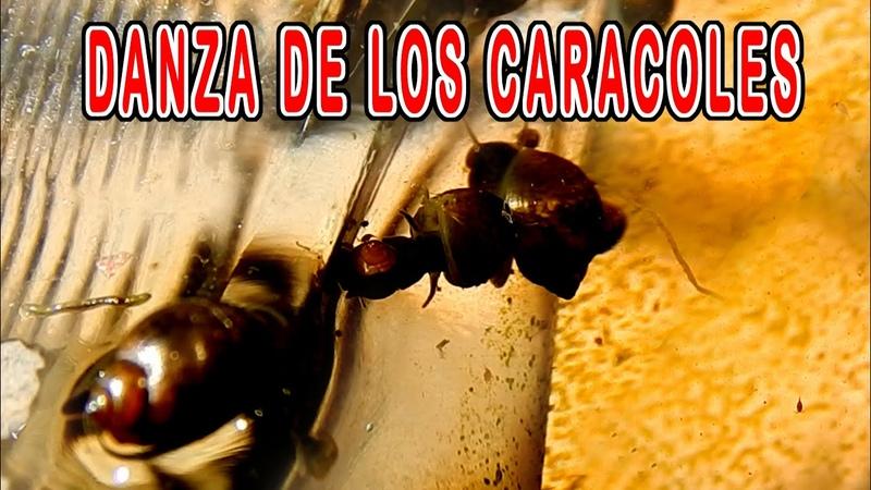 Cortejo de los Caracoles Caracol de agua Dulce Gasterópodos caracoles amorosos moluscos