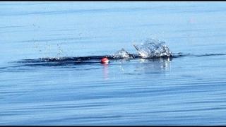 ЗМЕИ АТАКУЮТ ИЗВИВАЮТСЯ И ПУТАЮТ СНАСТИ. Ловля Саргана в Балтийском Море.