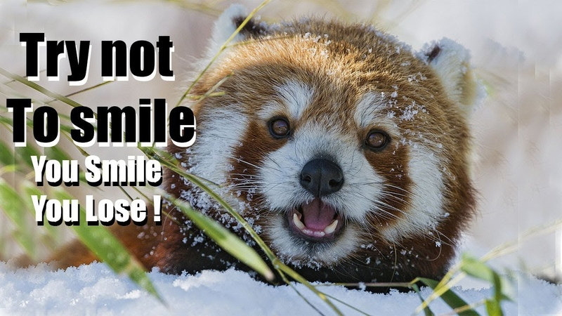 Funny red panda videos Try not to laugh or smile 2018 Winter edition for Christmas
