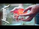 Золотые рыбки ТОП 4 ошибок содержания начинающим аквариумистом