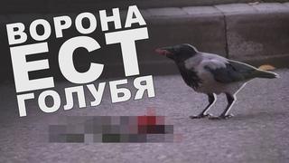 Ворона ест голубя. ШОК! НЕВЕРОЯТНЫЕ КАДРЫ!