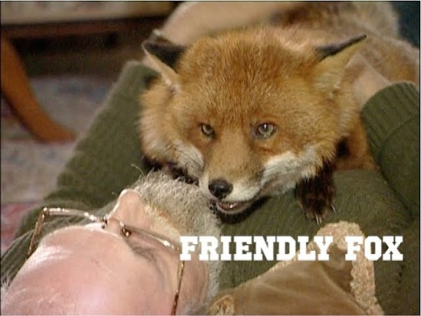 Friendly fox becomes a household pet