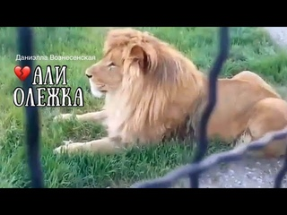 Лев Али ❤️Олежка. Признание в любви. Тайган. Life of lions. Taigan.