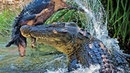 ГРЕБНИСТЫЙ КРОКОДИЛ — охотится на тигров, убивает акул и ест китов! Крокодил против кабана и кенгуру