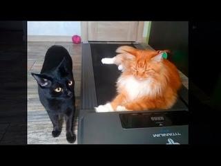 Мейн кун Степа и кот Тихон. Сегодня будем рядом с папкой😺