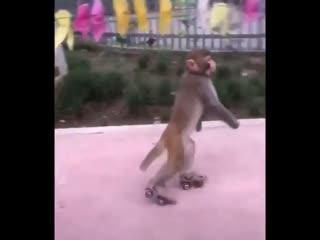 Ничего необычного, просто обезьяна на роликах 😁