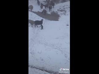 Момент из жизни пастуха