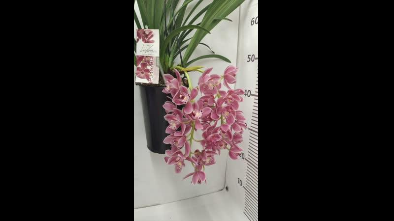 Орхидея Cymbidium Cascade 'Sakura'