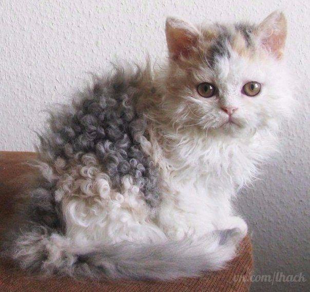 Кудрявый котенок