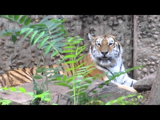 Cute Tiger Meow @ the Denver Zoo, August 24, 2012