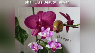 phal. Liu's Beauty Taiwan ♥️ my orchid collection ♥️ #orchids #shorts