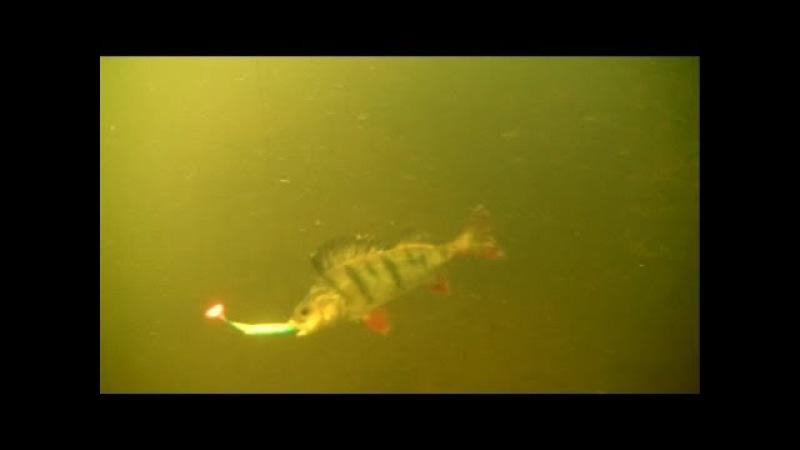 Fishing wt lures perch attack 12.5cm softbait underwater. Рыбалка окунь атакует 12,5см виброхвост.