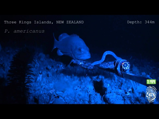 Hagfish predatory behaviour and slime defence mechanism