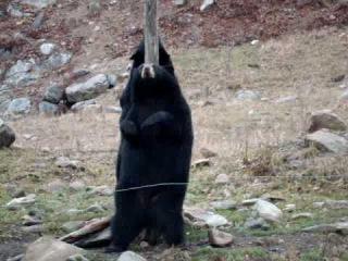 Ученые сняли на видео, как танцует гималайский медведь-почесун (3)