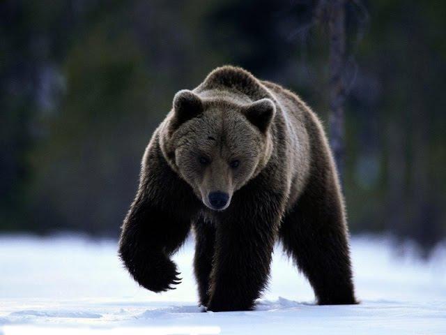 Охота на охотника Гибель человека медведя
