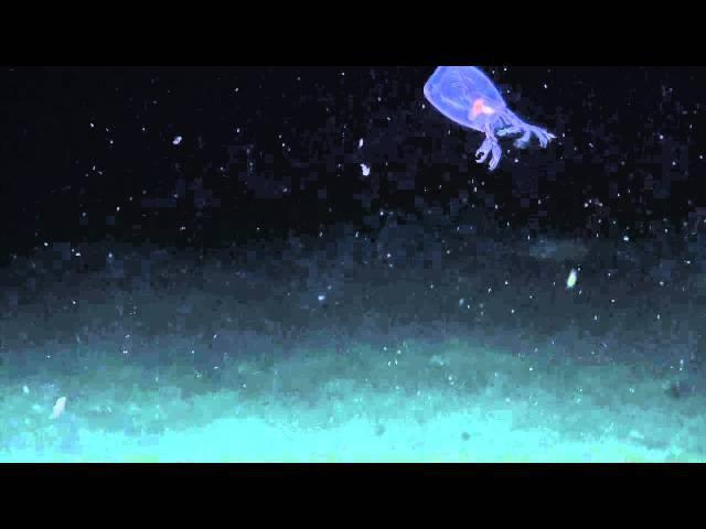 Anaximenes Amphipod | Nautilus Live