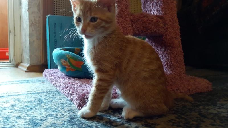 Златик - маленький золотой котенок