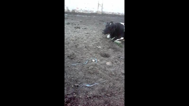 годуєм конопльой корову з Владом