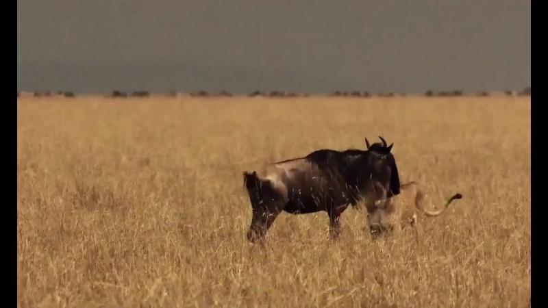 Дикая природа Охота диких животных Африки .