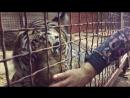 Мой братан - ТИГР! 24/7 тигр!
