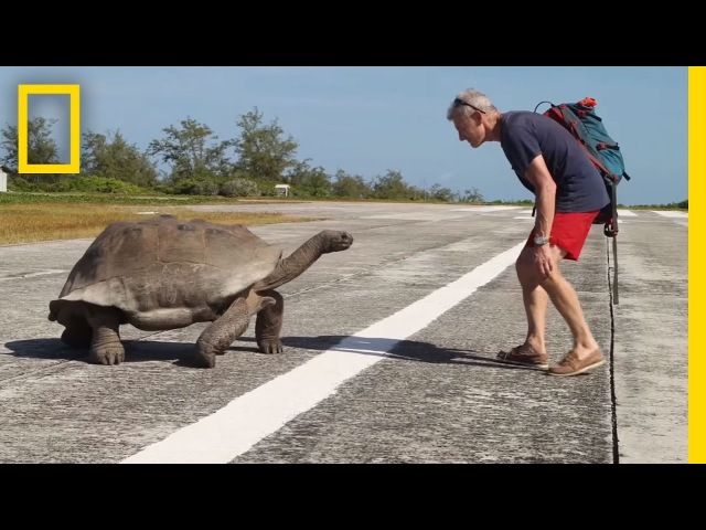 Explorer Interrupts Mating Tortoises Slowest Chase Ever Ensues National Geographic