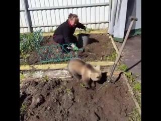 Ничего необычного, просто медведь помогает по огороду