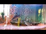 Аквариумная рыбка акулий барбус или акулий балу