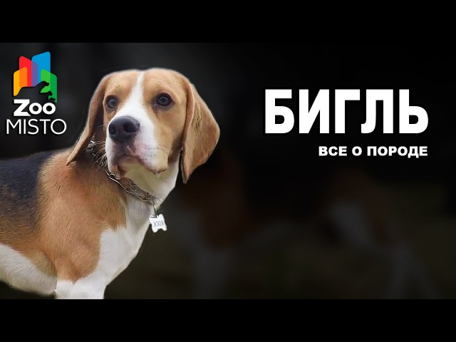 Бигль Все о породе собаки Собака породы Бигль