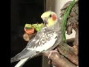 Попугай Корелла поёт дапстеп