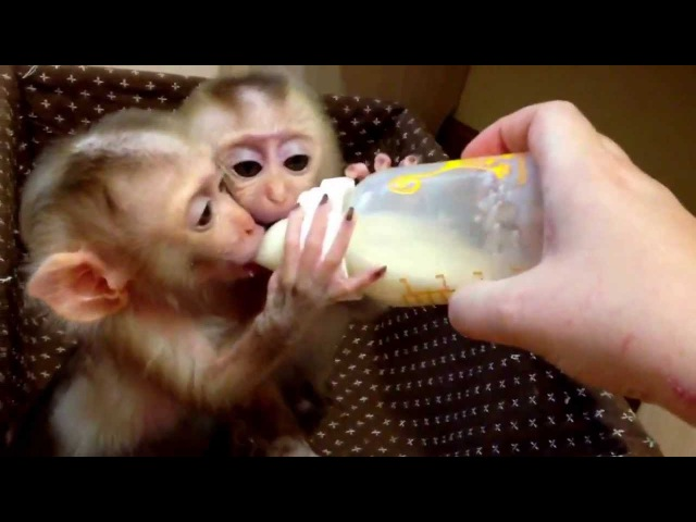 Monkey Лапундер
