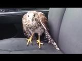 Ястреб спрятался от урагана «Харви» в такси
