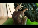 Australian Green Tree Frog Feeding Korallenfinger-Laubfrosch Fütterung Litoria caerulea