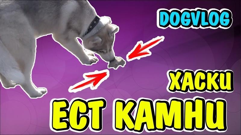 DOGVLOG: ХАСКИ ЕСТ КАМНИ! Говорящая собака