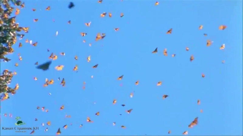 Миграция бабочек Монархов из Канады в Мексику_ Удивительное и незабываемое зрели.mp4