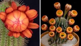 Hypnotic Cactus Flowers Blooming Time Lapse | Bored Panda Art