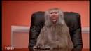 Бабуин в офисе | Baboon at office