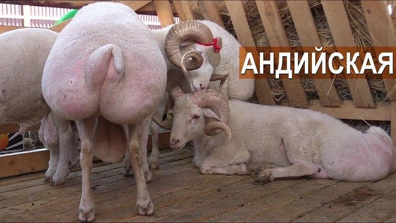 АНДИЙСКАЯ ПОРОДА ОВЕЦ. СПК Мехельтинский. XIX Всероссийская выставка племенных овец и коз.