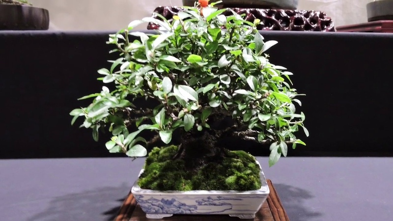 10th Heathrow Bonsai Show 2019 Part 2