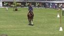 "Working equitation David Duarte de Oliveira Lusitano Horse ""Fuzil Bf"""
