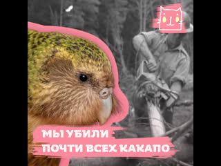 Попугаи какапо на грани исчезновения