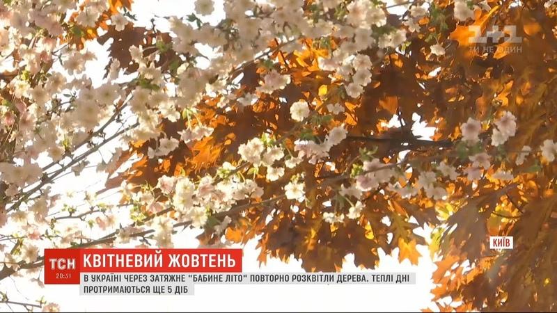 Через бабине літо у Києві зацвіла сакура