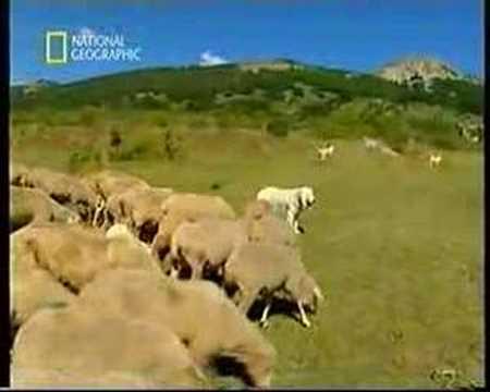 Pastori Maremmani-Abruzzesi al Lavoro www.velino-sirente.com